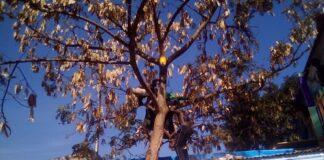 L'individu nu sur un arbre avec deux assistants qui voudraient le faire descendre de force le 02 décembre 2020. Photo CNC / Cyrille Jefferson Yapendé